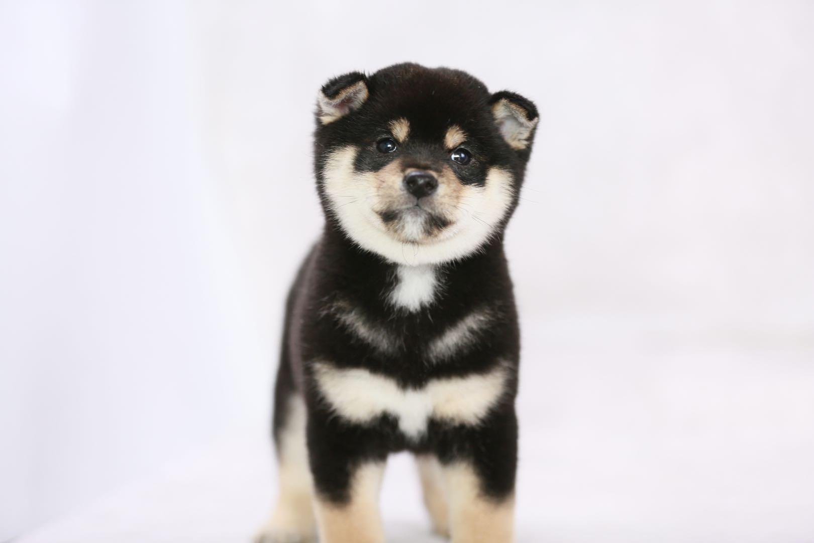 柴犬购买,柴犬多少钱一只?