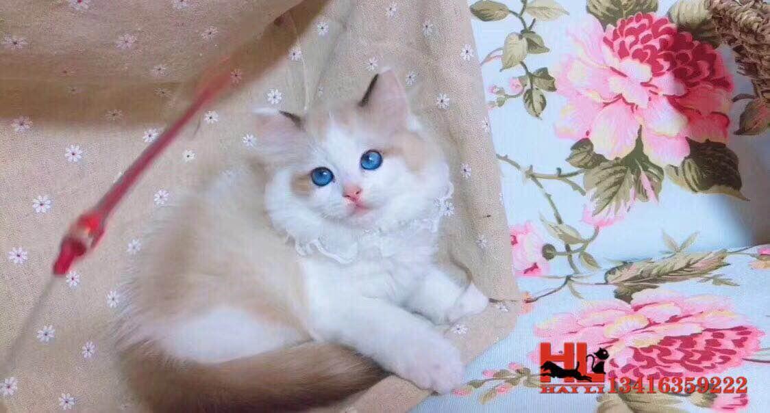深圳专业繁育纯种布偶猫咪 海双蓝双满耳满背 超级可爱