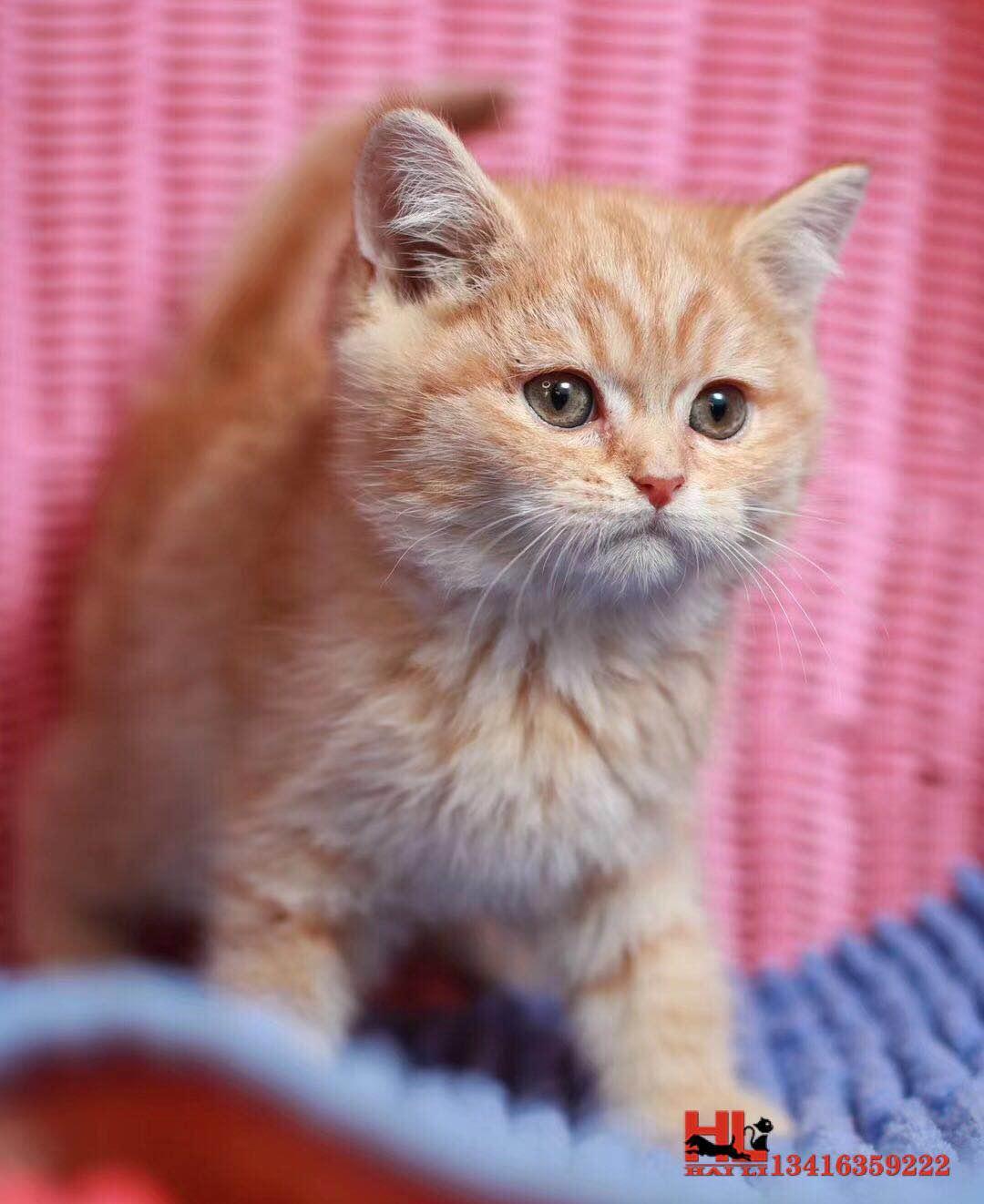 广州自家繁殖中华田园猫橘猫 做好疫苗驱虫 欢迎咨询
