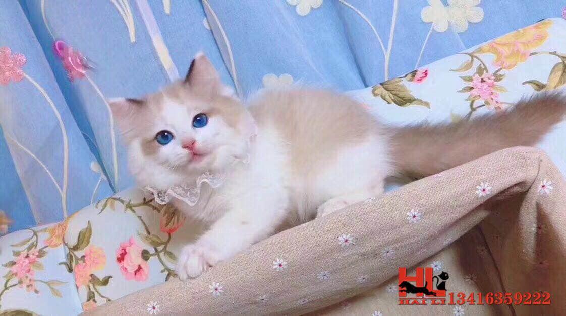 广州专业繁育纯种布偶猫咪 海双蓝双满耳满背 超级可爱