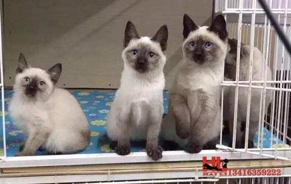 蓝眼精灵 泰国纯种暹罗猫 黑脸 包养活 广州暹罗猫
