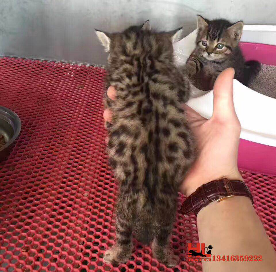 广州专业繁殖高品质孟加拉豹猫 品质好 品相到位8