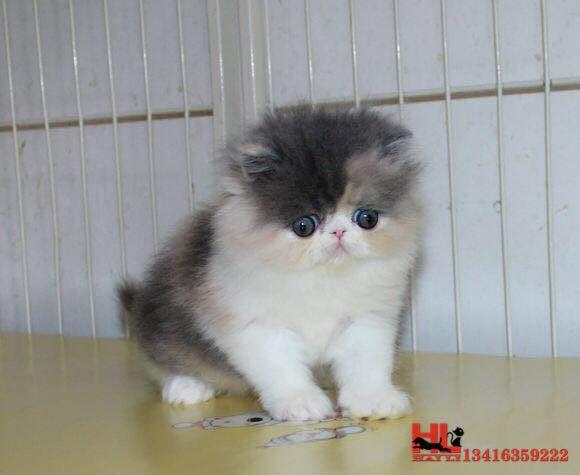 广州纯种高品质波斯猫 自家专业繁育