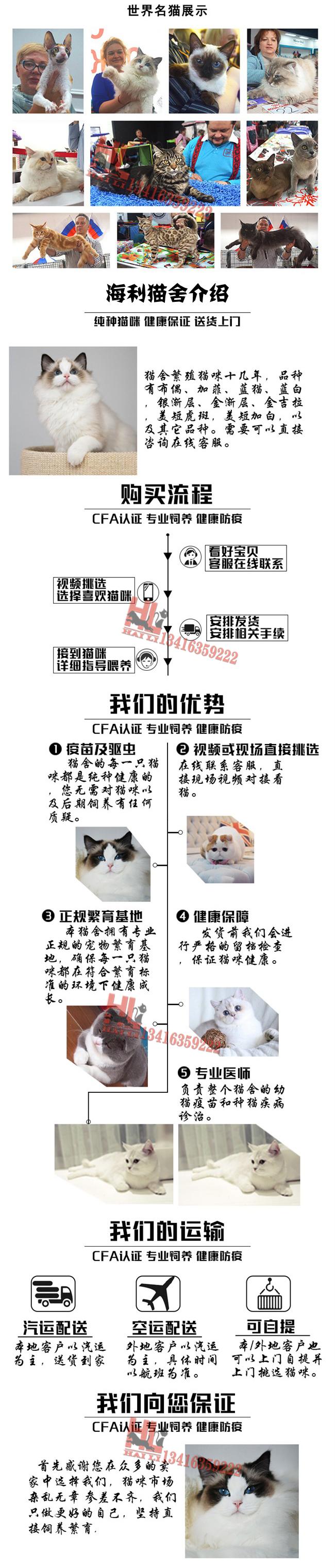 广州专业繁殖高品质孟加拉豹猫 品质好 品相到位6