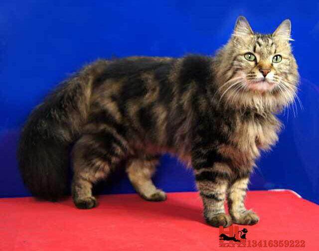 珠海正规猫舍出售精品缅因猫幼崽 品质保障 包纯种包健康