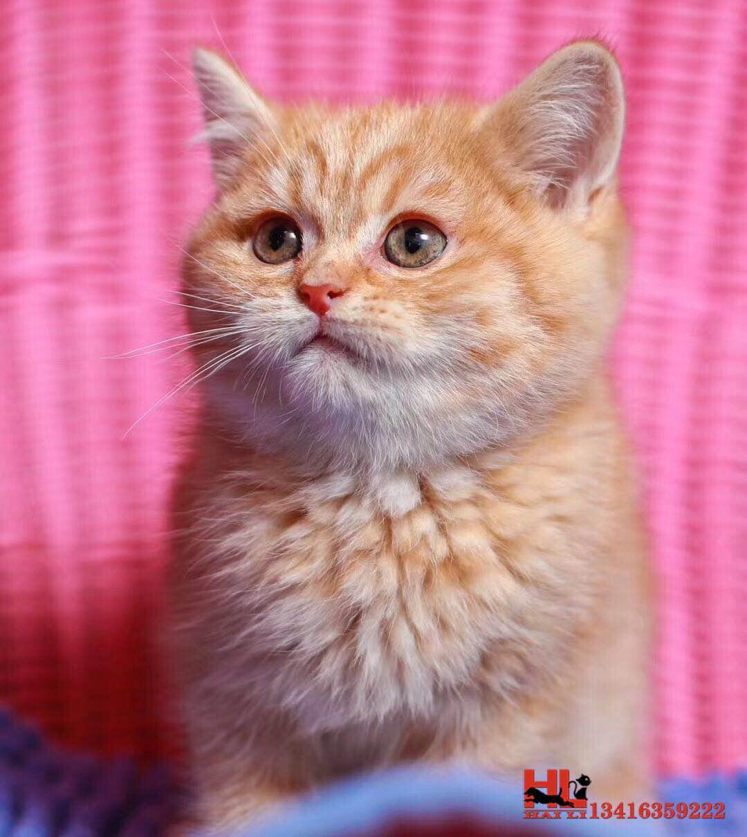 香港自家繁殖中华田园猫橘猫 做好疫苗驱虫 欢迎咨询