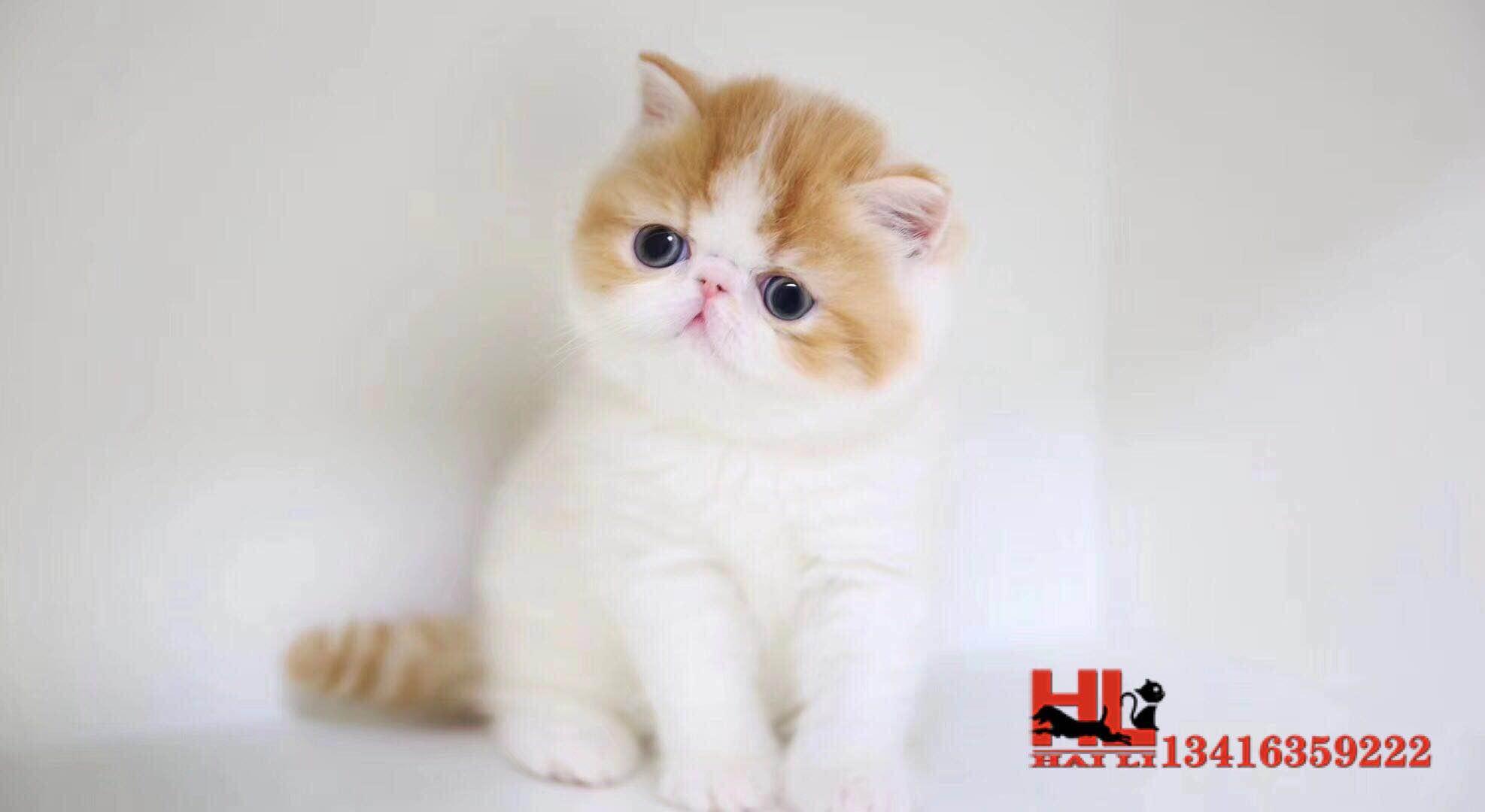 香港高品质加菲宝宝找家长 健康漂亮 欢迎咨询