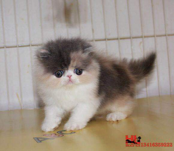 香港纯种高品质波斯猫 自家专业繁育