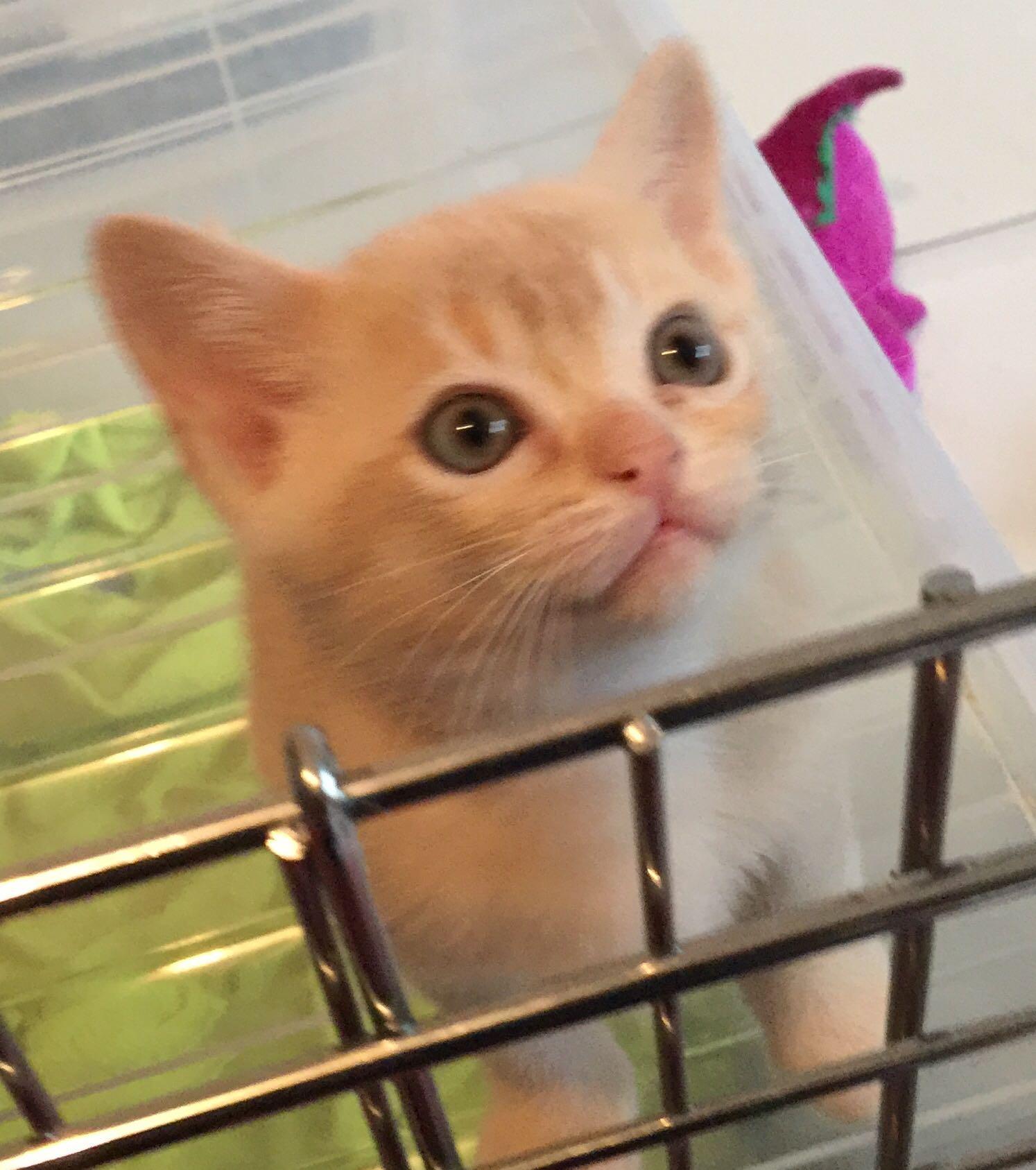 澳门正规猫舍繁育直销纯种健康缅甸猫 欢迎咨询