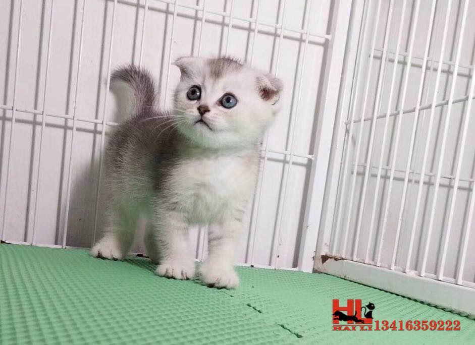 澳门正规猫舍繁殖精品折耳猫 包纯种健康养活