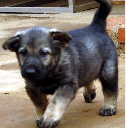 红河州买昆明犬请进 云南本地狗场昆明犬出售