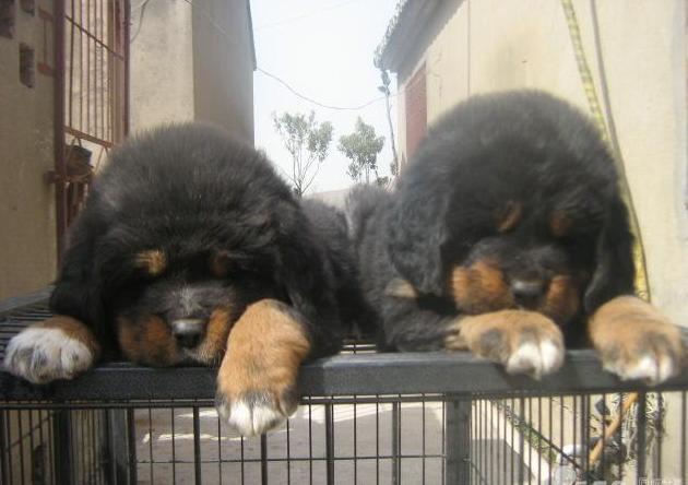 云南买纯种藏獒犬 云南本地养狗基地出售纯种藏獒犬