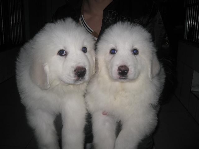 广州哪里有卖大白熊犬 大白熊犬多少斤 大白熊犬图片5