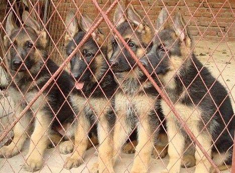 广州哪里有卖德国牧羊犬 长毛德牧一只多少钱 短毛德牧价格1