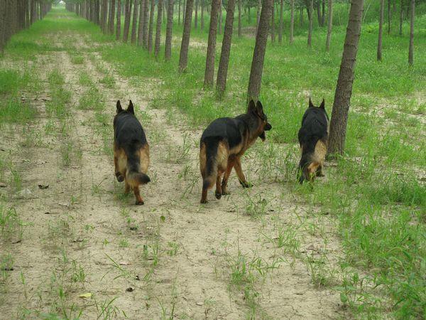 广州哪里有卖德国牧羊犬 长毛德牧一只多少钱 短毛德牧价格3
