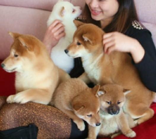 广 州哪里有卖纯种柴犬 狗场优惠出售 欢迎点击进入1
