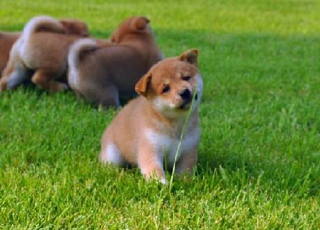 广 州哪里有卖纯种柴犬 狗场优惠出售 欢迎点击进入7