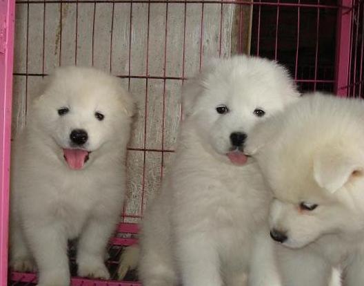 广州哪里有卖大白熊犬 大白熊犬多少斤 大白熊犬图片1