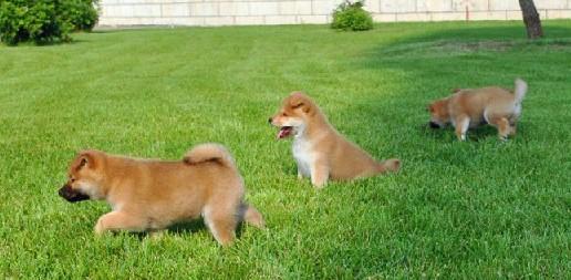 广 州哪里有卖纯种柴犬 狗场优惠出售 欢迎点击进入8