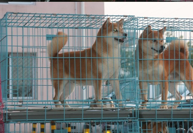 广 州哪里有卖纯种柴犬 狗场优惠出售 欢迎点击进入2