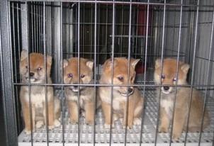 广 州哪里有卖纯种柴犬 狗场优惠出售 欢迎点击进入5