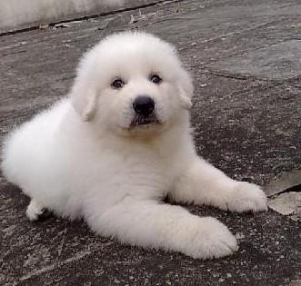 广州哪里有卖大白熊犬 大白熊犬多少斤 大白熊犬图片4