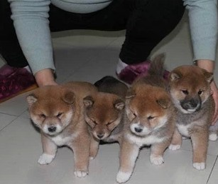 广 州哪里有卖纯种柴犬 狗场优惠出售 欢迎点击进入6