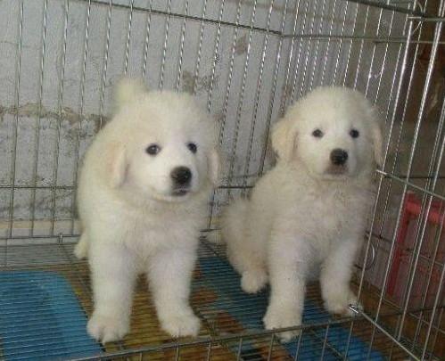 广州哪里有卖大白熊犬 大白熊犬多少斤 大白熊犬图片6