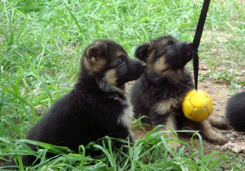 广州哪里有卖德国牧羊犬 长毛德牧一只多少钱 短毛德牧价格4