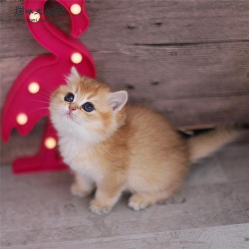 珠海哪里有卖金渐层珠海口碑好的猫舍