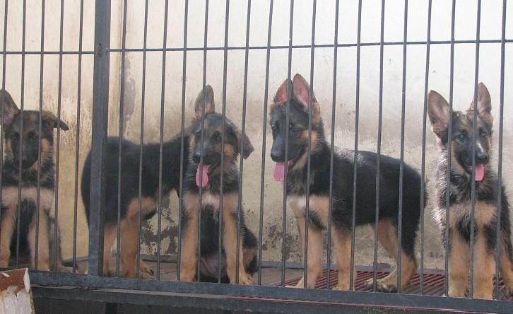 广州哪里有卖德国牧羊犬 长毛德牧一只多少钱 短毛德牧价格8