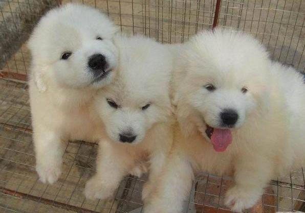 广州哪里有卖大白熊犬 大白熊犬多少斤 大白熊犬图片2