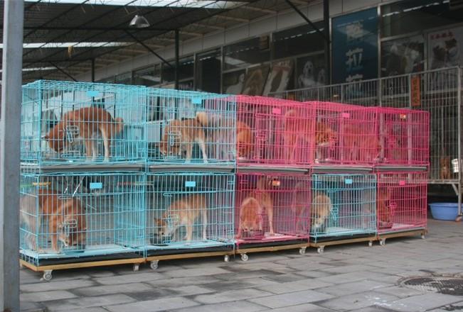 广 州哪里有卖纯种柴犬 狗场优惠出售 欢迎点击进入3