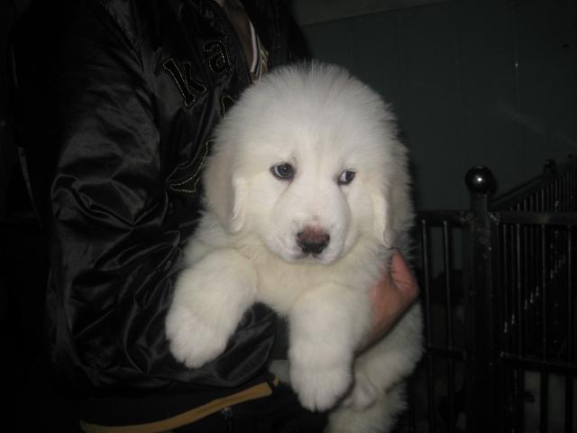 广州哪里有卖大白熊犬 大白熊犬多少斤 大白熊犬图片7