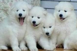 广州哪里有卖大白熊犬 大白熊犬多少斤 大白熊犬图片3