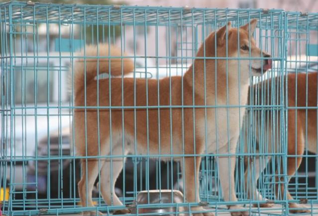 广 州哪里有卖纯种柴犬 狗场优惠出售 欢迎点击进入4