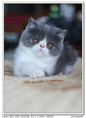 广州哪里有加菲猫卖,健康保证放心购买