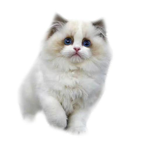 东莞哪里有卖布偶猫,正规的布偶猫舍在哪