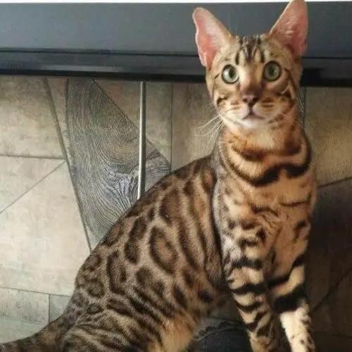 佛山纯种孟加拉豹猫哪买好,佛山哪里有卖豹猫