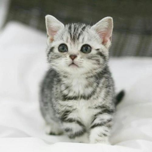 买美国短毛猫比较好的地方佛山哪里有卖美短猫