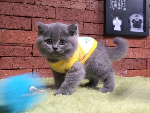 广州哪里有卖蓝猫,加微信了解更多优惠CKU认证猫舍