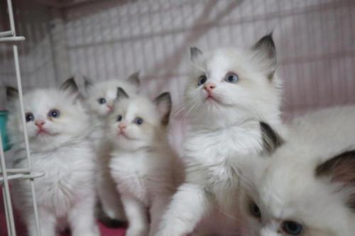 布偶猫多少钱一只哪买好深圳哪里有卖布偶猫