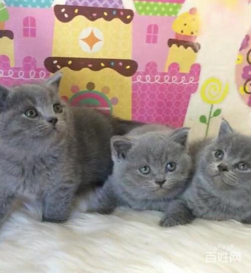 江门哪里有卖蓝猫这家猫舍好性价比高