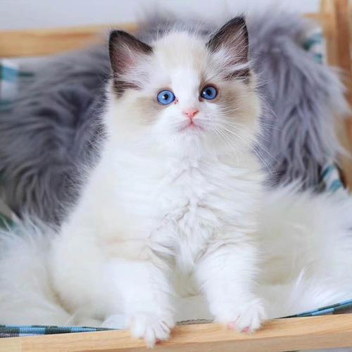 广州哪里有卖布偶猫广州买猫哪里比较靠谱