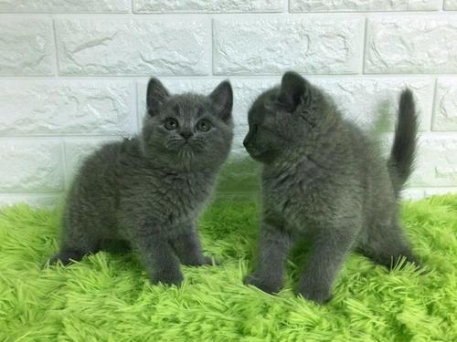 佛山哪里有卖蓝猫正规猫舍在哪里