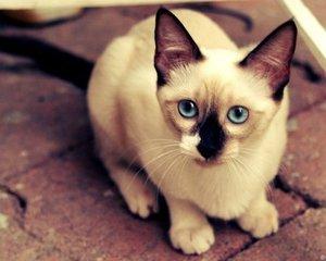 广州哪里有卖暹罗猫最帅挖煤喵