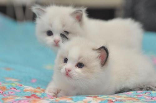 中山那有布偶猫卖的 蓝双色 开脸正波斯系多少钱