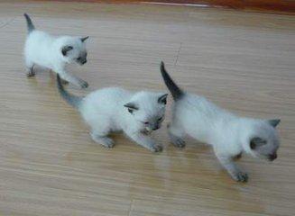 广州有泰国暹罗猫卖吗?多少钱?
