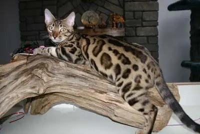 哪里买猫靠谱,佛山猫舍哪里有卖孟加拉豹猫的