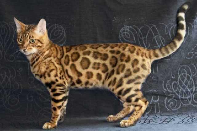 纯种豹猫哪买好,佛山哪里有卖豹猫佛山豹猫价格3